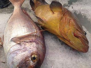 Meros y pargos, algunas de las grandes piezas que se capturan en las costas menorquinas  que se acompañan de salsa mahonesa