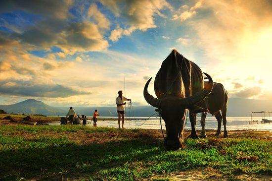 Búfalos de agua a orillas del Lago Toba, en Sumatra (Indonesia) Sayid Budhi