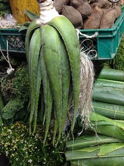 Aloe vera, se coloca en posición invertida en las casas colombianas como presagio de buena suerte