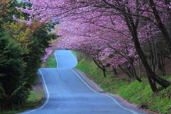 Cerezo-japonés