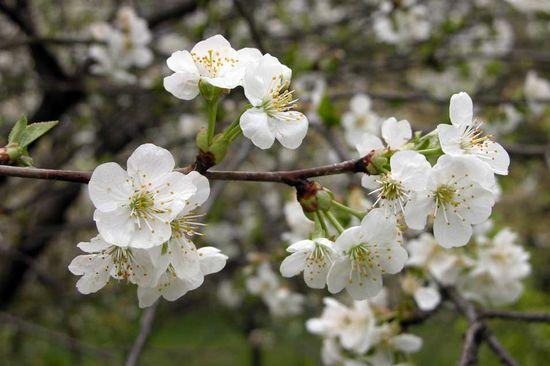 Prunus-cerasus
