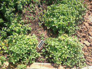 Aspecto de una de las jardineras con hierbas aromáticas que rodean el espacio del  Obrador Grate en Viana