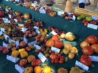 40 variedades de tomates se cultivan en el valle del Guadalhorce
