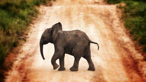 Elefantito