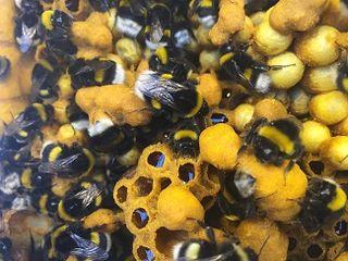 Polinización con abejorros, como se hace en Almería y en otros lugares