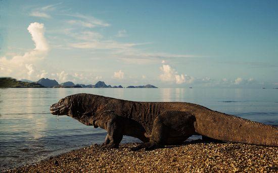 Dragón de Komodo - Joe Mc Donald