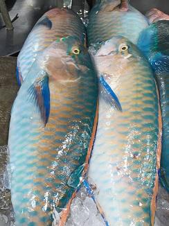 Parrot (loro) mismo nombre que a los raons o loritos en las costas españolas y gran parecido aunque diferente color y mucho mayor tamaño