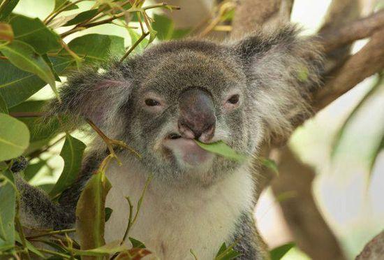 Koala castrador
