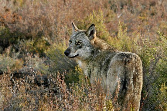 Lobo ibérico en la sierra de La Culebra, en la provincia de Zamora.  - Andoni Canela