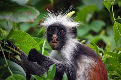 7. Zanzibar Red Colobus Monkey by Hasin Shakur - Licensed under GFDL 1.2 via Wikimedia Commons