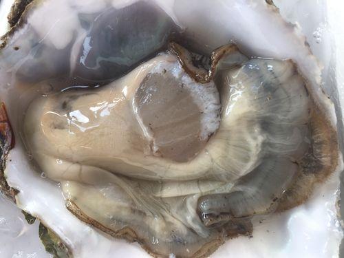 Magnifico ejemplar de ostra valenciana