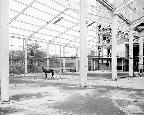 9. Donkey, Pomfret Asbestos Mine