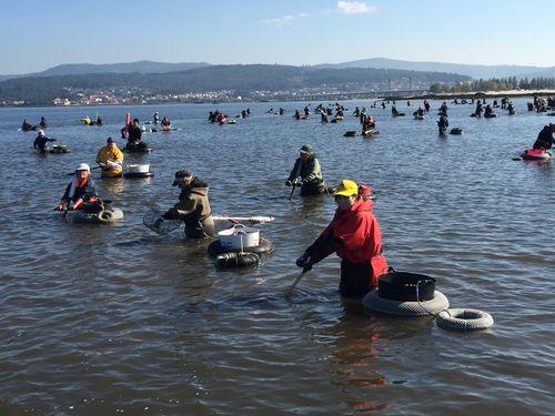 Centenares de mariscadortas en la ría de Noia