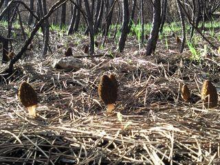 Colmenillas recolectadas en un bosque quemado