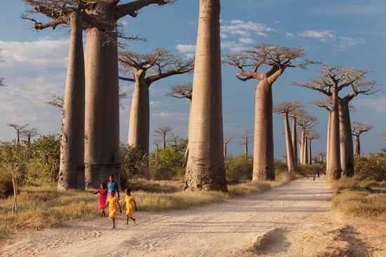 La avenida de los baobabs, cerca de Morondava (Madagascar).  P. Lee Harvey  Getty