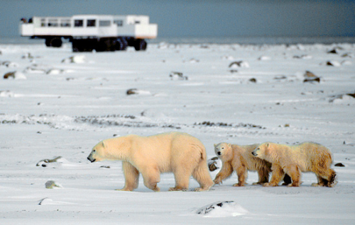 Polar-bears-pass-tundra-buggy