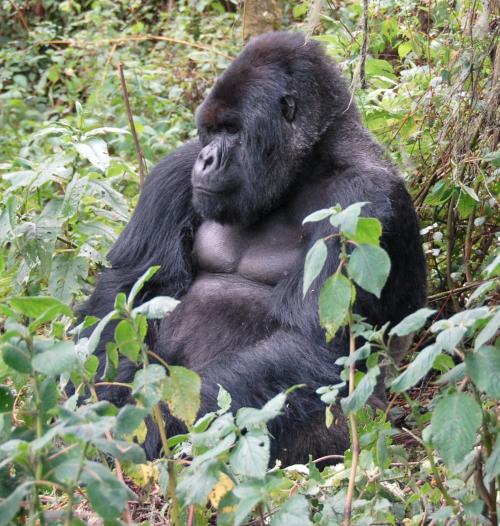 Susa_group,_mountain_gorilla