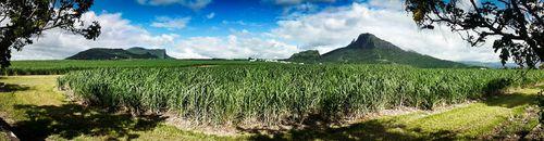 Plantaciones caña azúcar Mauricio-Paco Nadal