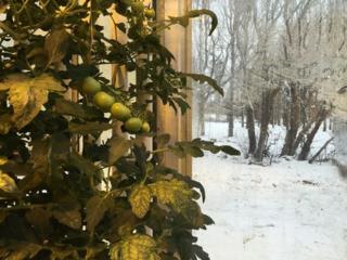 Tomates en invernader