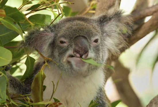 Koala Auscape - UIG