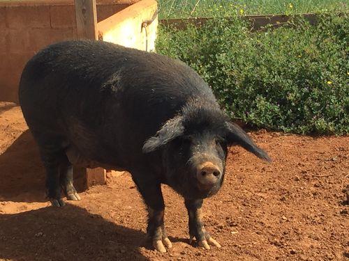 Ejemplar de porc negre ibicienco