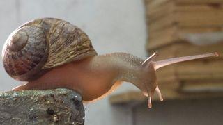 El caracol común de jardín, %22helix aspersa%22 Villanueva del Trabuco