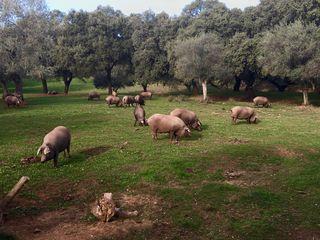 Cerdos alimentándose de bellota y hierba