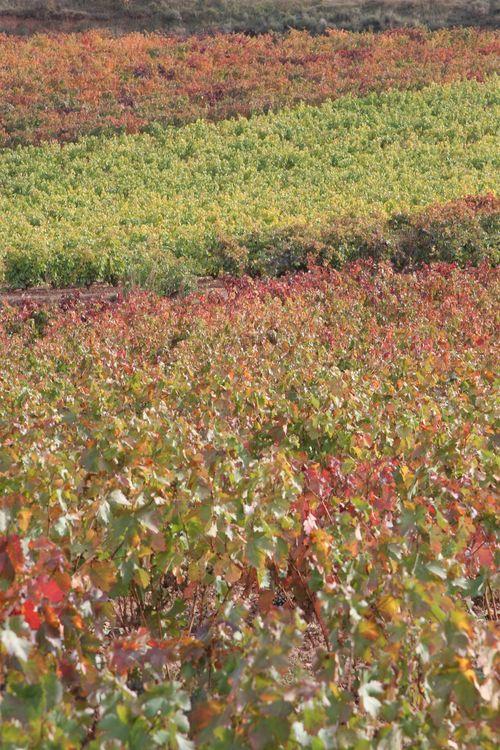Otoño en viñedos de La Rioja1