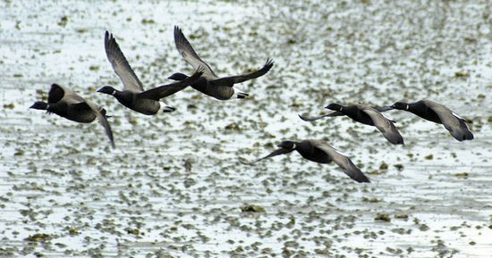 Flying-geese-1-1394918-639x335