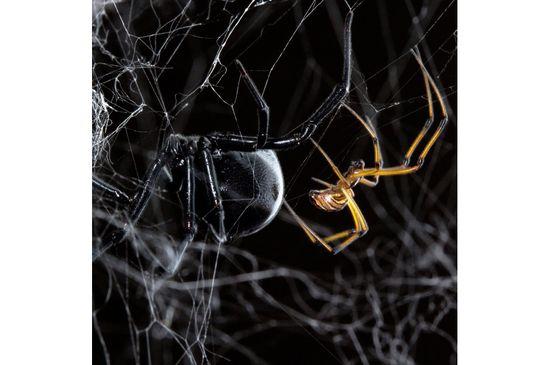 Black-widow-spiders Sean McCann National Geographic
