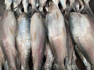 Bangus el pescado más popular en Filipinas