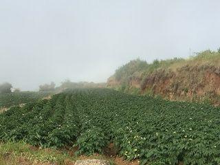 Plantación de papas en Icod el Alto, a 1000 metros de altitud