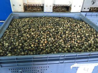 Berberchos de gran tamaño listos para la subasta