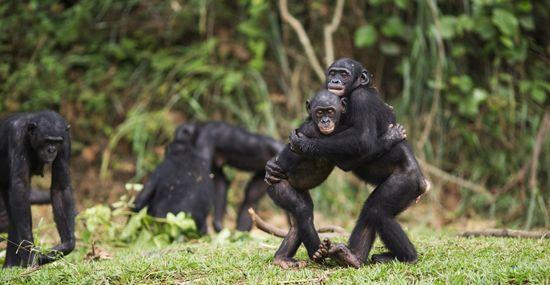 42-29327337 Bonobos Corbis