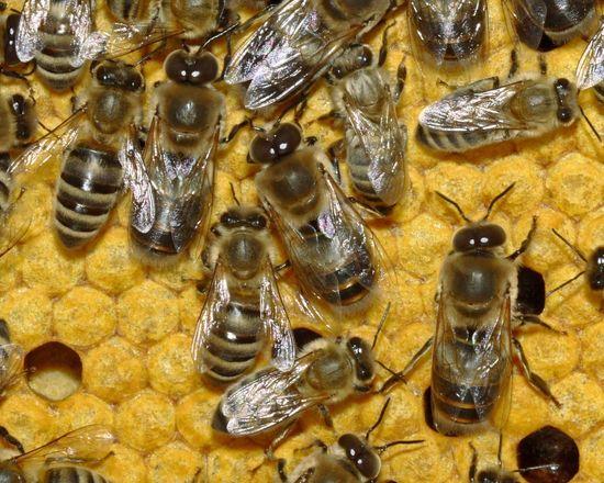 Bienen_35b-Detail Wikimedia