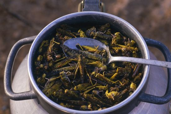 Algerians prepare salted desert locusts, which are first boiled, then dried Patrick Robert Corbis.