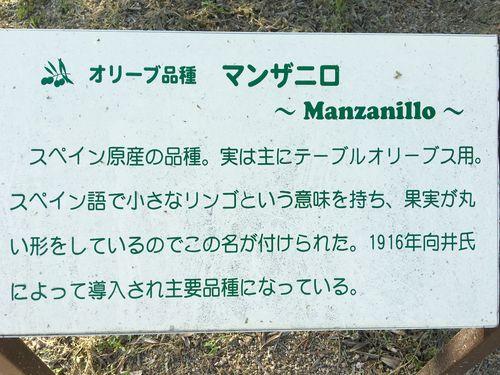 CARTEL EXPUESTO EN EL MACIZO DE OLIVOS MÁS GRANDE DEL JARDIN MUSEO DE SHODOSHIMA. ACEITUNAS MANZANILLA, LA UNICA VARIEDAD RESEÑADA
