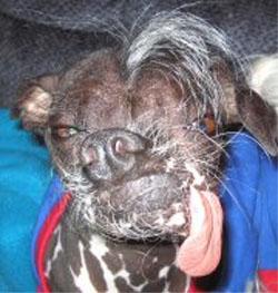 Perro pila o perro pelado del Peru