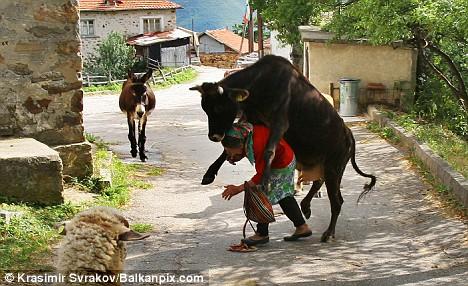 La vaca salta inopinadamente sobre su dueña. El burro avanza ...