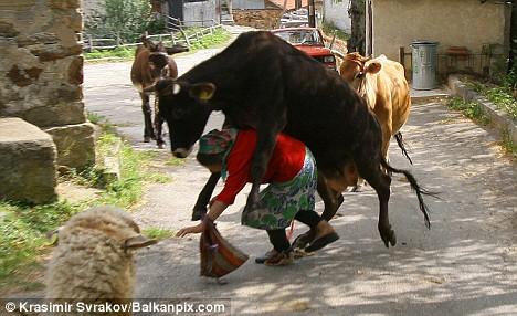 La pastora cae derribada. La vaca 2 muestra interés, no así el ...